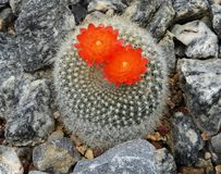 Parodia Haselbergii wiith orange red flowers royalty free stock image