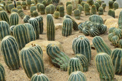 Parodia magnifica Ritt., кактус растет в песке Стоковая Фотография RF