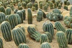 Parodia magnifica Ritt., kaktuns växer i sand Royaltyfri Fotografi