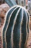 Parodia Magnifica Ritt. Kaktus. Stockfotos