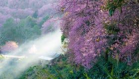 Paronama Sakura pink flower. Sakura pink flower on mountain in thailand, cherry blossom Stock Photo