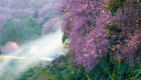Paronama Sakura pinkblomma Arkivfoto