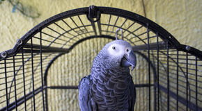 Parot. Close-up of a parrot in a cage Royalty Free Stock Image