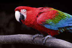 Parot Royalty Free Stock Images