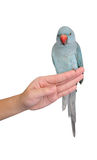 Parot on hand isolated. For background Stock Photography