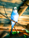 Parot Royalty Free Stock Photos
