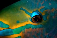Parotfish do Cararibe fotografia de stock royalty free
