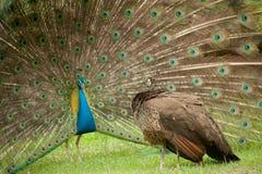 parpåfåglar Royaltyfri Fotografi