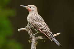 Parpadeo septentrional (auratus del Colaptes). Foto de archivo