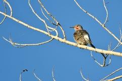 Parpadeo septentrional encaramado en un árbol Imagenes de archivo