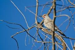 Parpadeo septentrional encaramado en un árbol Imagen de archivo libre de regalías