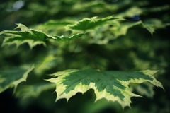 Parple leafs with white edging. Close up summer photo Royalty Free Stock Photography