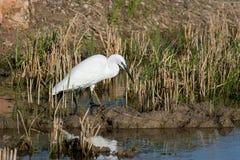 Parque alba de la Albufera naturel, Valence, España d'EL d'en d'un d'amorce de Retrato d'ardea naturel de plano de garceta blanc image stock