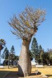 Parque Cadiz de Genoves da árvore de Chorisia Speciosa, a Andaluzia, Espanha fotos de stock