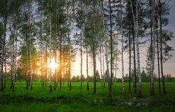 Parque con los árboles de abedul en la puesta del sol Fotos de archivo