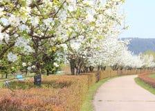 Parque con los manzanos florecientes Fotografía de archivo libre de regalías