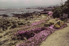Parque costero de California con las margaritas del hielo Fotografía de archivo libre de regalías