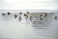 Parque de Chicago con los gansos que nadan imagen de archivo libre de regalías