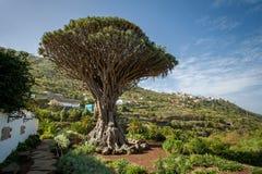 Parque de Drago, Tenerife imagem de stock royalty free