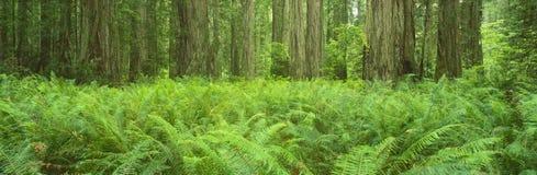 Parque de estado do Redwood de Jedediah Smith fotos de stock