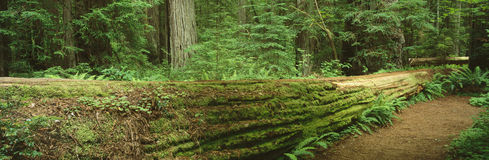 Parque de estado do Redwood de Jedediah Smith. fotografia de stock