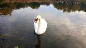 Parque de Gloucester da cisne Fotografia de Stock Royalty Free