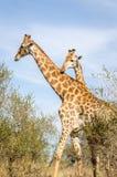 Parque de Kruger de las jirafas, Suráfrica Imagen de archivo libre de regalías