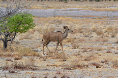 Parque de Kudu Etosha, Namibia Imagenes de archivo