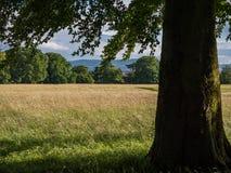 Parque de Phoenix, Dublín Visión debajo del árbol de ceniza sobre prado herboso en verano fotografía de archivo libre de regalías