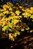 Parque de Tattingstone, Reino Unido, cores das folhas de outono Imagem de Stock Royalty Free