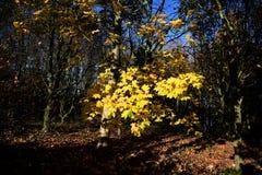 Parque de Tattingstone, Reino Unido, cores das folhas de outono Imagens de Stock Royalty Free