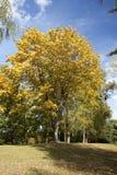 Parque del arce en otoño Fotografía de archivo