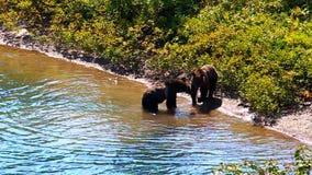 Parque del glaciar de Cubs de oso grizzly metrajes