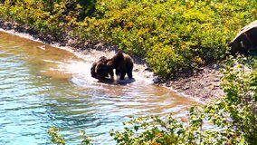 Parque del glaciar de Cubs de oso grizzly almacen de metraje de vídeo