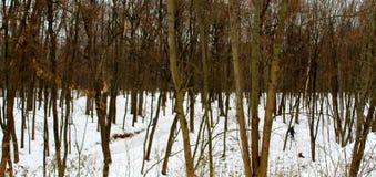 Parque del invierno con los árboles y la nieve finos imagen de archivo libre de regalías