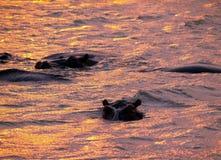 Parque del kruger de los hipopótamos Imágenes de archivo libres de regalías