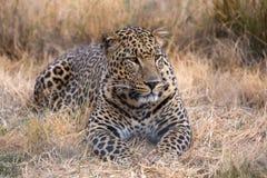 Parque del nationa del kruger del leopardo imagenes de archivo