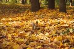 Parque del otoño, ardilla Imágenes de archivo libres de regalías