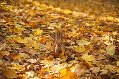 Parque del otoño, ardilla Imagen de archivo libre de regalías