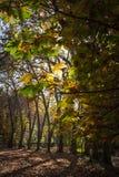 Parque del otoño, hojas del amarillo Foto de archivo libre de regalías