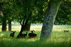 Parque do verão com moufflons Fotografia de Stock Royalty Free