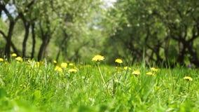 Parque do verão do parque da mola - dentes-de-leão amarelos no dia solar do ` s do verão do espaço livre do prado video estoque