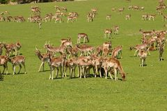 Parque dos cervos Imagens de Stock Royalty Free