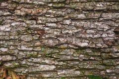 Parque en Ucrania, corteza de árbol Foto de archivo libre de regalías