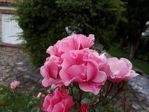 Parque för Rosa rosa en-FN/rosa färgros i en parkera Fotografering för Bildbyråer