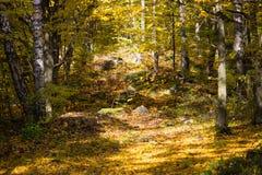 Parque hermoso con los árboles de abedul y la luz del sol Fotos de archivo libres de regalías