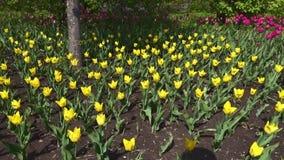 Parque hermoso de la primavera cubierto por los tulipanes amarillos de las flores frescas metrajes