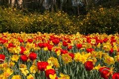 Parque italiano hermoso con los tulipanes y los narcisos rojos Foto de archivo