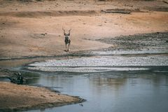 Parque nacional África do Sul de Kruger fotos de stock