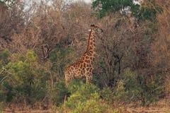 Parque nacional África do Sul de Kruger imagem de stock